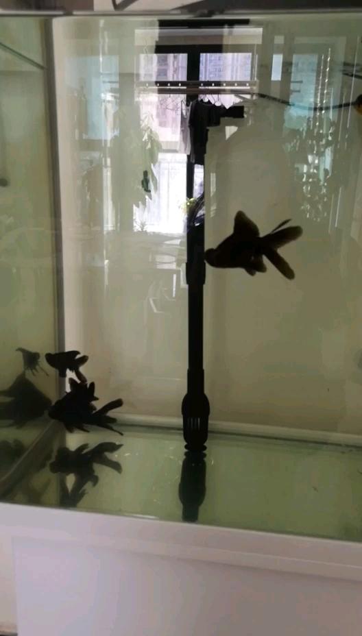 黑玛丽追得金鱼到温州泰虎鱼处跑 温州龙鱼论坛