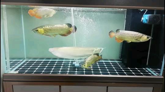 卸下隔离板 银川水族批发市场 银川龙鱼第1张