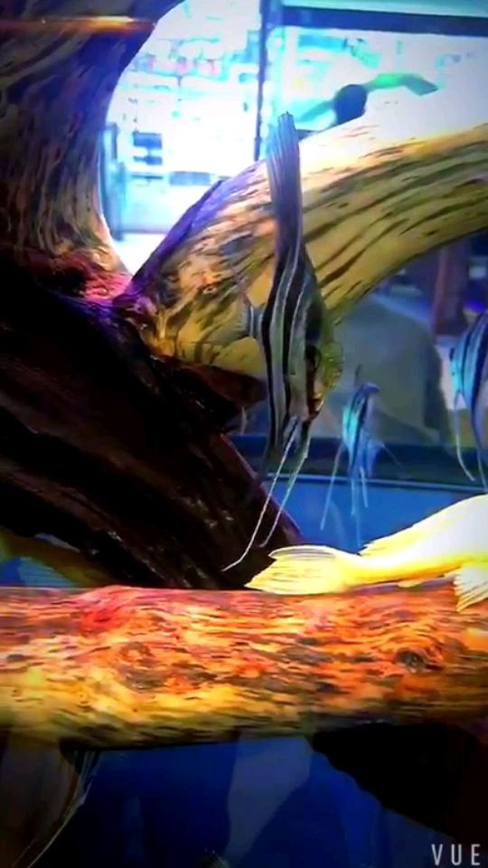 野生埃绵阳珍珠魟鱼及