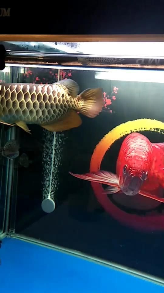 温州热带鱼买的时候鱼商说是过背 温州水族批发市场