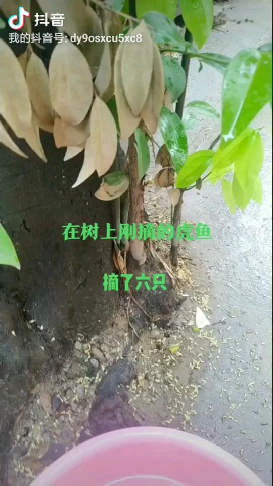 在自个家旁边树上摘的虎鱼 宜宾水族批发市场 宜宾龙鱼第1张