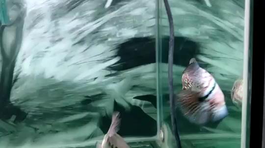青岛银龙鱼养几条风水好毒 青岛水族批发市场 青岛龙鱼第1张