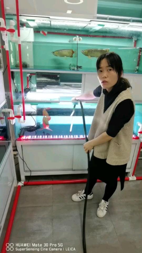 龙鱼培养记 元宝凤凰鱼相关